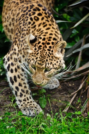 Beautiful portrait of leopard Panthera Pardus big cat amongst foliage in captivity photo