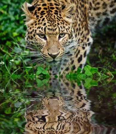 Beautiful portrait of leopard Panthera Pardus big cat amongst foliage in captivity reflected in calm water