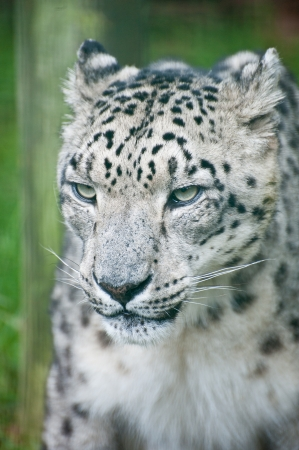 snow leopard: Beautiful portrait of Snow Leopard Panthera Uncia Uncia big cat in captivity