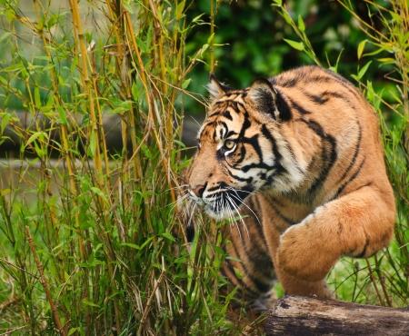 Портрет Суматры тигра Panthera Tigris кошка Sumatrae большой в неволе