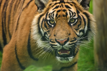 Portrait of Sumatran Tiger Panthera Tigris Sumatrae big cat in captivity photo