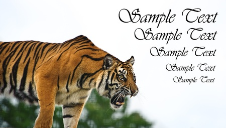 big cat: Portrait of Sumatran Tiger Panthera Tigris Sumatrae big cat in captivity looking into blank white copyspace Stock Photo