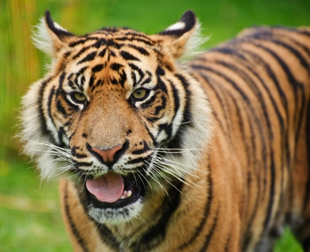 Portrait of Sumatran Tiger Panthera Tigris Sumatrae big cat in captivity photo