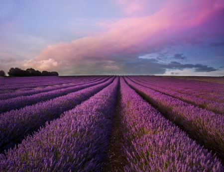 Beautiful image of lavender field Summer sunset landscape photo