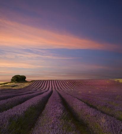 ラベンダーのフィールド夏の日没の風景の美しい画像