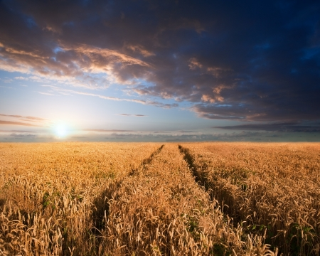 Beautiful image of wheatfield Summer sunset landscape photo