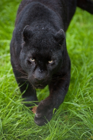 Black leopard Panthera Pardus prowling through lnog grass in captivity photo