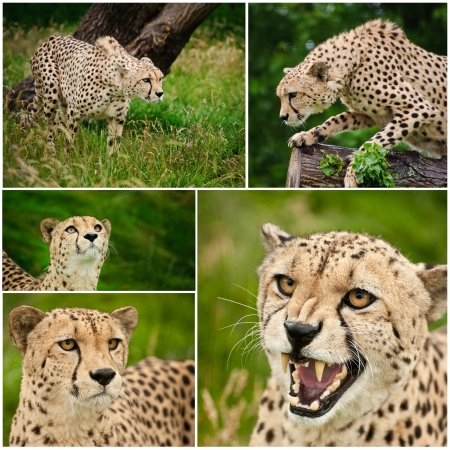 Collection of five images of cheetah big cat in captivity photo