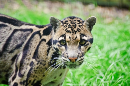 Clouded leopard Neofelis Nebulova big cat in captivity Stock Photo