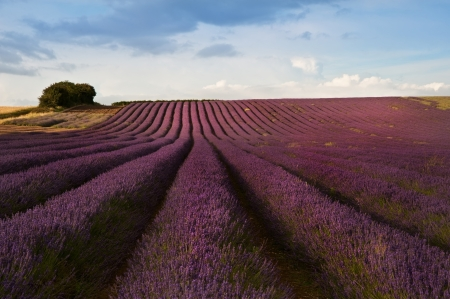 Beautiful landscape of lavender fields at sunset with dramatic sky photo