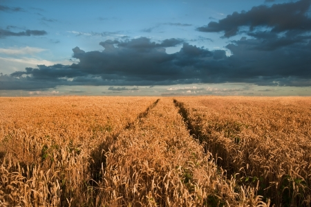 Landscape of golden field of wheat under a dramatic stormy looking sky in Summer photo
