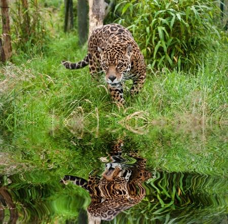 jaguar: Impresionante retrato de jaguar Panthera Onca gran gato merodeando por la hierba larga en cautiverio se refleja en aguas tranquilas