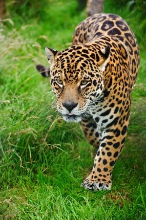 Beeindruckende Portr�t von Jaguar Raubkatze Panthera Onca streifen durch langes Gras in Gefangenschaft Lizenzfreie Bilder
