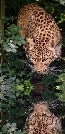 panthera pardus: Beautiful portrait of leopard Panthera Pardus big cat amongst foliage in captivity reflected in calm water