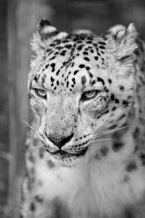 snow leopard: Beautiful portrait of Snow Leopard Panthera Uncia Uncia big cat in captivity in black and white monochrome