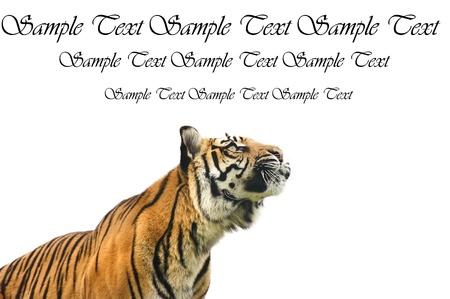 sumatran tiger: Ritratto di tigre di Sumatra gatto Panthera Tigris Sumatrae grande in cattivit� guardare in bianco copyspace bianco