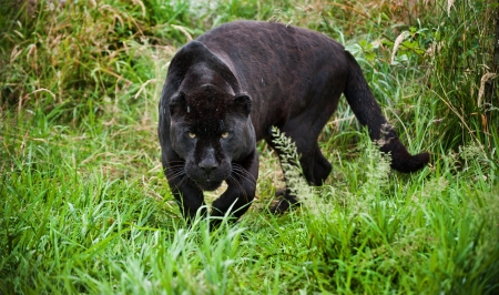 onca: Black jaguar Panthera Onca prowling through long grass in captivity
