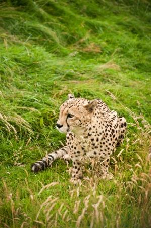big cat: Cheetah Acinonyx Jubatus big cat in captivity