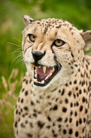 captivity: Cheetah Acinonyx Jubatus big cat in captivity