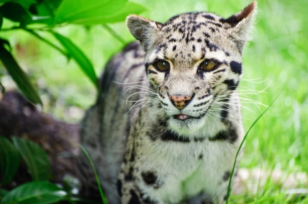 big cat: Clouded leopard Neofelis Nebulova big cat in captivity Stock Photo