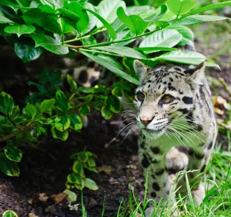 clouded leopard: Clouded leopard Neofelis Nebulova big cat in captivity Stock Photo