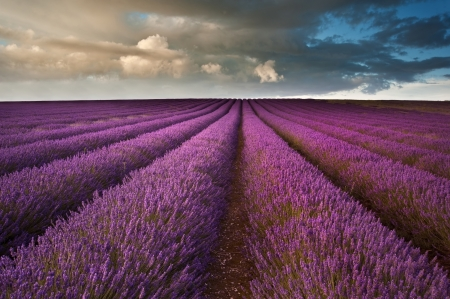 lavender fields: Beautiful landscape of lavender fields at sunset with dramatic sky Stock Photo