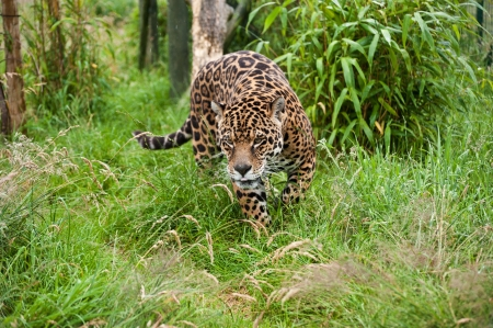 Stunning portrait of jaguar big cat Panthera Onca prowling through long grass in captivity Stock Photo - 14929163
