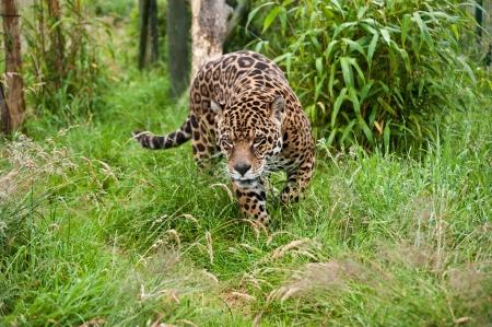 panthera onca: Stunning portrait of jaguar big cat Panthera Onca prowling through long grass in captivity