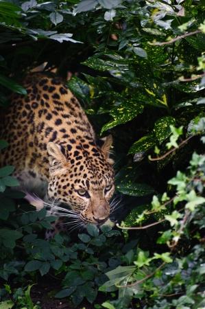Beautiful portrait of leopard Panthera Pardus big cat amongst foliage in captivity Stock Photo - 14929222