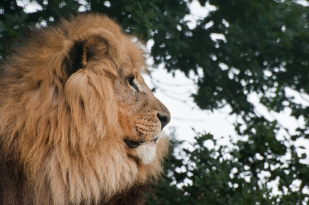 big cat: Portrait of African Lion Panthera Leo big cat in captivity