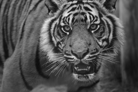 big cat: Portrait of Sumatran Tiger Panthera Tigris Sumatrae big cat in captivity in black and white monochrome