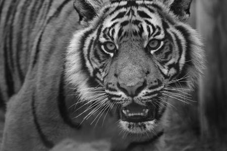 sumatran tiger: Ritratto di tigre di Sumatra gatto Panthera Tigris Sumatrae grande in cattivit� in bianco e nero in bianco e nero