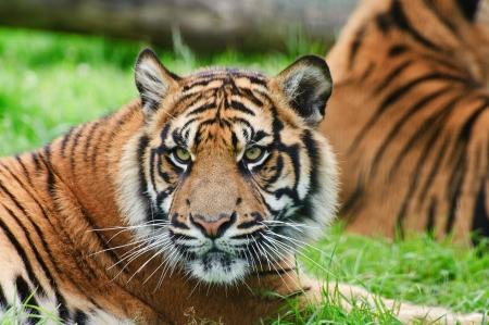 captivity: Portrait of Sumatran Tiger Panthera Tigris Sumatrae big cat in captivity