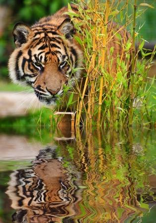 sumatran tiger: Ritratto di tigre di Sumatra gatto Panthera Tigris Sumatrae grande in cattivit� riflette in acque calme