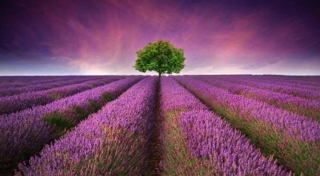 Mooi beeld van lavendel veld Zomer zonsondergang landschap met enkele boom op de horizon contrasterende kleuren