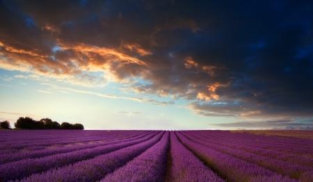 Stunning lavender field landscape at sunset in Summer photo