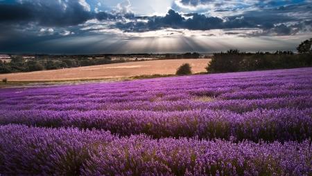 fiori di lavanda: Bellissimo paesaggio di campi di lavanda al tramonto con cielo drammatico Archivio Fotografico