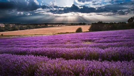 Beautiful landscape of lavender fields at sunset with dramatic sky Foto de archivo