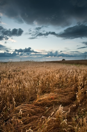 Landscape of golden field of wheat under a dramatic stormy looking sky in Summer Stock Photo - 14929064