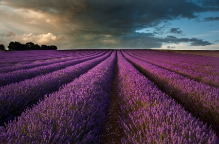 Beautiful landscape of lavender fields at sunset with dramatic sky Stock Photo
