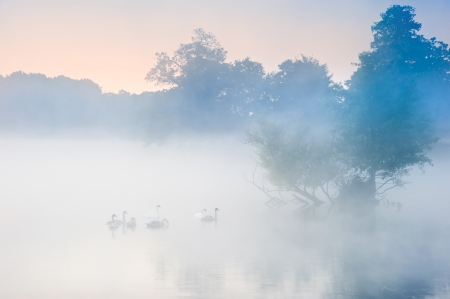 birds lake: Familyof swans swim across misty foggy Autumn Fall lake Stock Photo