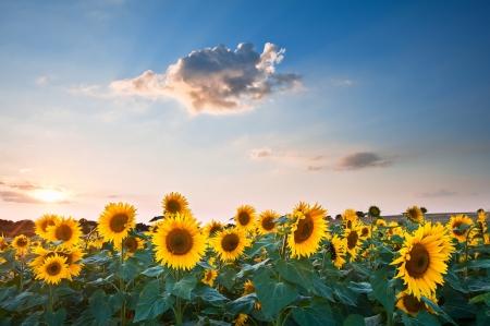 helianthus annuus: Blue sky landscape of Summer sunset sunflower field