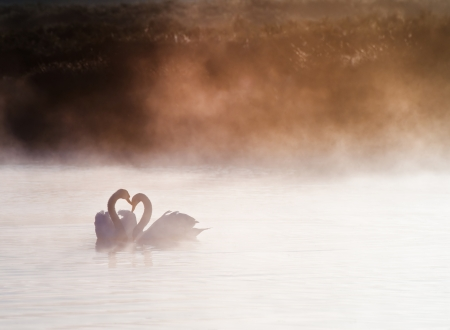 Touching romantic scene of mated pair of swans on foggy misty lake