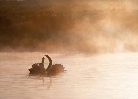 Touching romantic scene of mated pair of swans on foggy misty lake photo