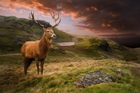 Dramatic sunset with beautiful sky over mountain range giving a strong moody landscape and red deer stag looking strong and proud Stock Photo