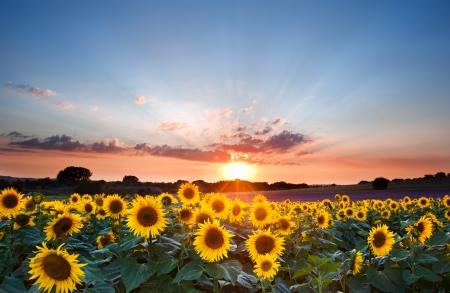 sunflower oil: Blue sky landscape of Summer sunset sunflower field