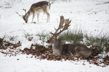 Image of fallow deer in forest landscape in Winter with snow on ground photo