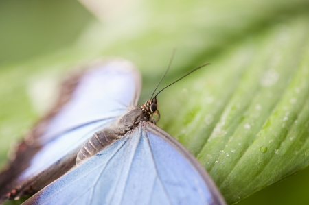 forewing: Blue morpho butterfly