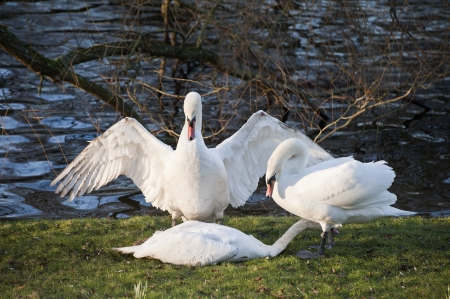 mating colors: Aggressive and tender mute swan behaviour during mating ritual