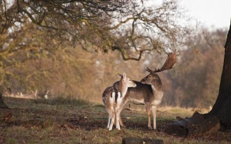 fallow deer: Fallow deer doe and buck  Stock Photo